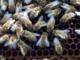 Arıların Özellikleri İngilizce