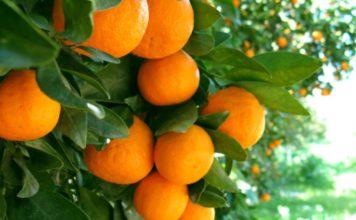 Portakal Ağacı Nerede Yetişir