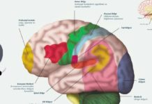 Beynin Yapısı Ve Bölümleri