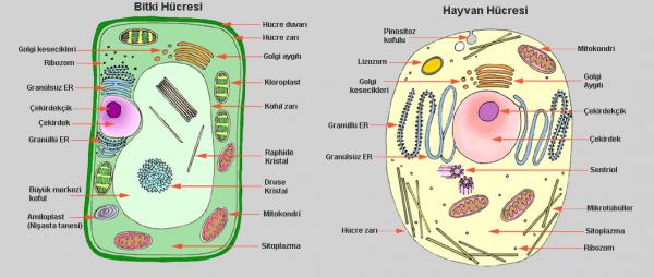 Tüm Canlılarda Hücreler Aynı Yapı Ve Özellikte Midir? Neden