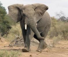 Filin bacaklarındaki mütiş sır