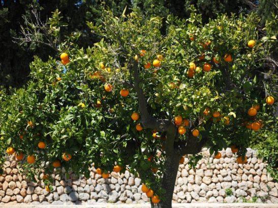 Portakal Ağacı Nerede Yetişir?